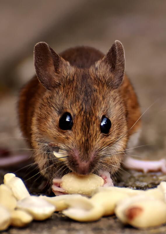 Mice mouse County Pest Control Birmingham