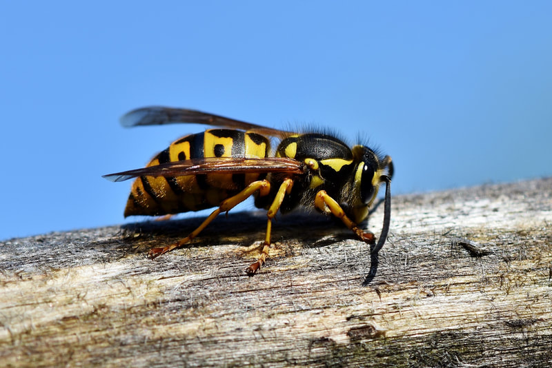 Wasp Bee pest control service in birmingham
